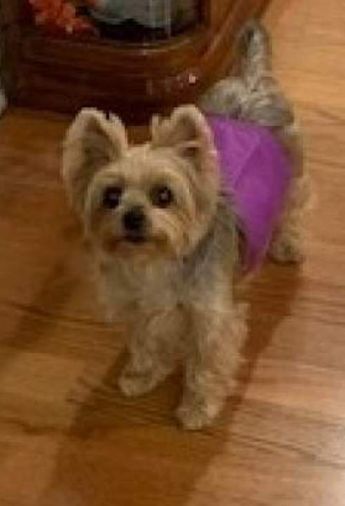 Yorkie Haven Rescue
